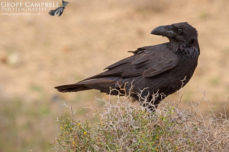 Canarian Raven (Corvus corax tingitanus)