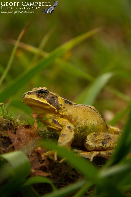 Common Frog in the Oakwood