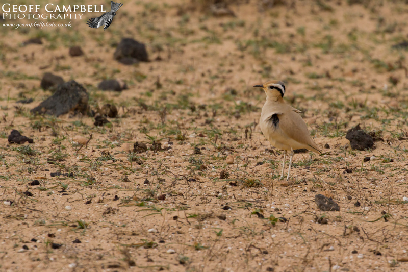 Cream Coloured Courser (Cursorius cursor)