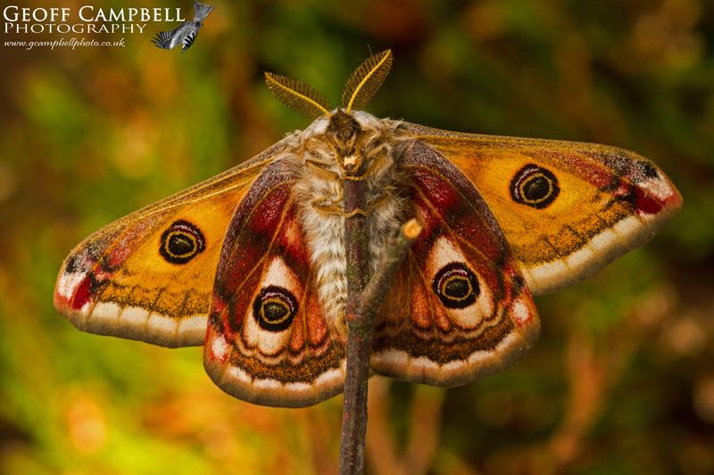 Emperor Moth Underwing