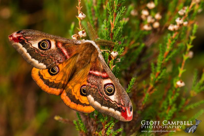 Emperor Moth Upperwing