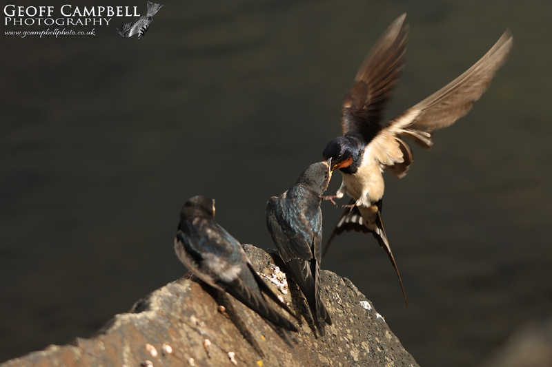 Feeding Swallows