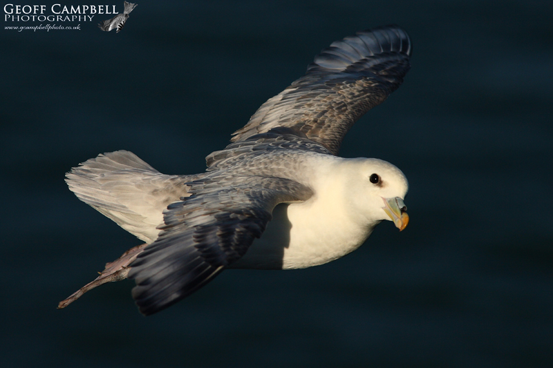 Fulmar Fly By