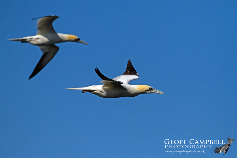 Passing Gannets