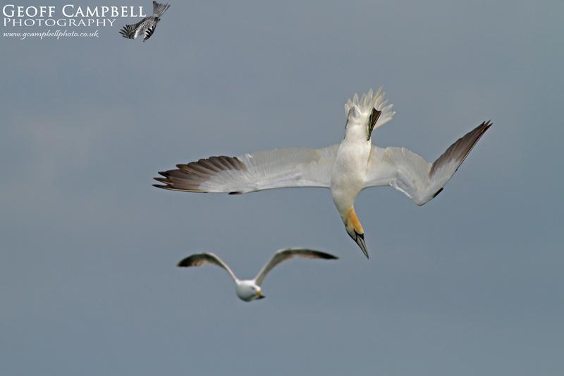 Gannet and Gull