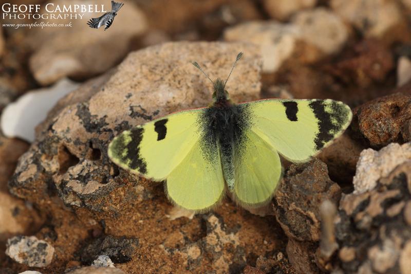 Greenish Black Tip