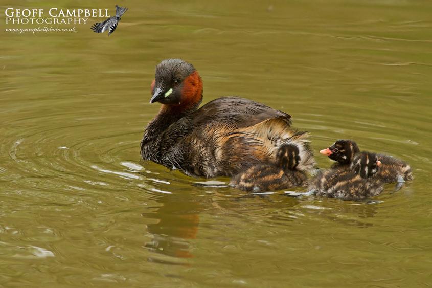 Little Grebe Family