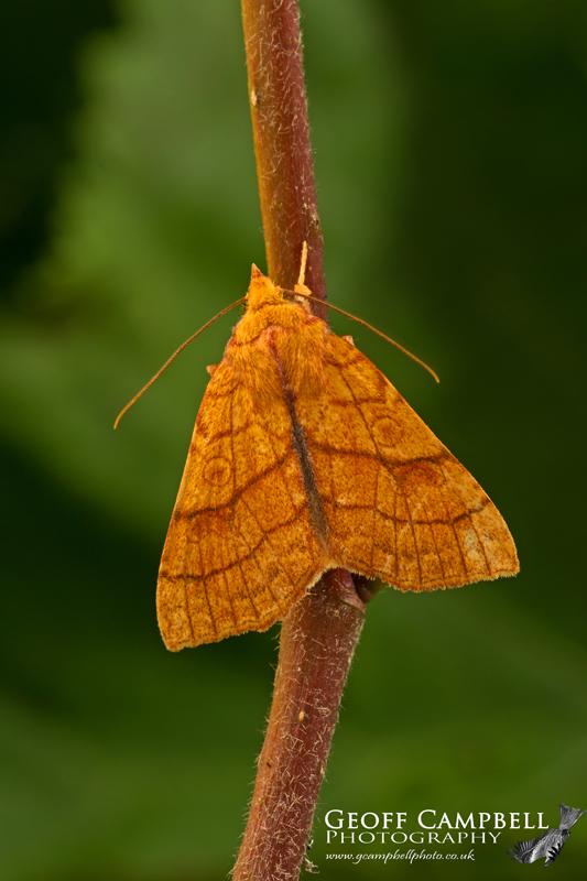 Orange Sallow