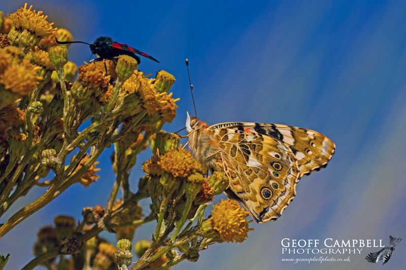 Painted Lady Against a Blue Sky
