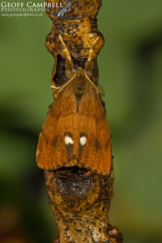 Vapourer - Male