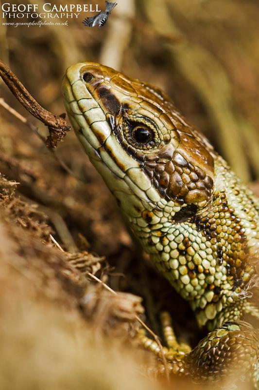 Viviparous Lizard - Close up