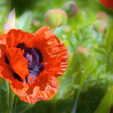 Close-up of Poppy Flower