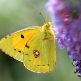 Clouded Yellow web copy