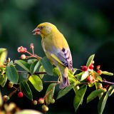 Green Finch web copy