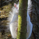 Albino squirrel hiding