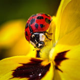 Ladybird on yellow pansy