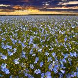 Linen in Bloom