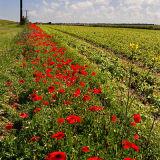 Poppy Border 1