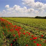 Poppy Border 2