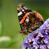 Red Admiral feeding copy