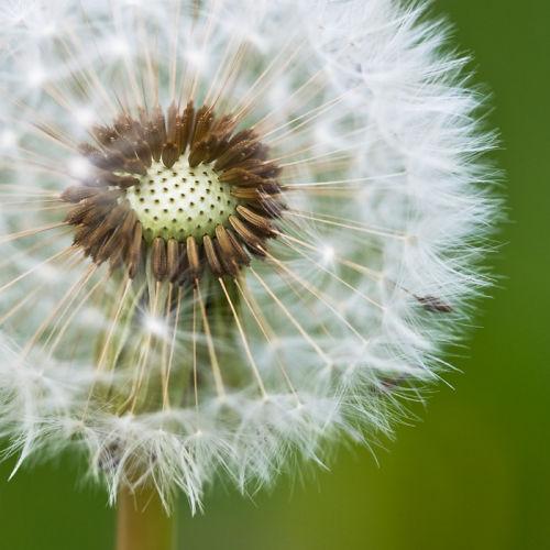 Dandelion colour