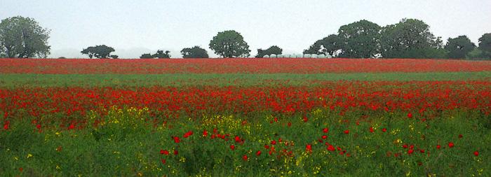 Misty Poppy Field