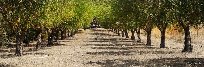 Olive tree walk