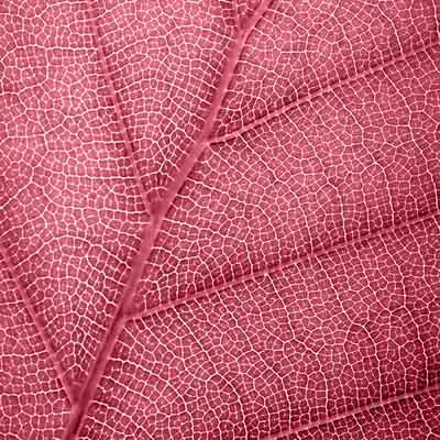 Leaf Red