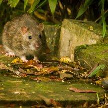 Ratty