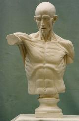 A071  Torso anatomico1/1Houdon