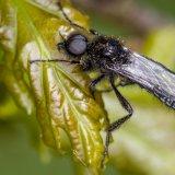 Bibio marci (St. Mark's fly)