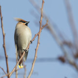 Waxwing, Hove