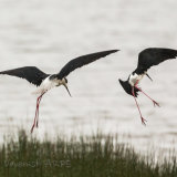 Black Winged Stilts, South West France