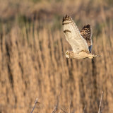 Short Eared Owl, Sussex