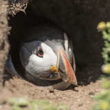 Puffin in Burrow - Skomer