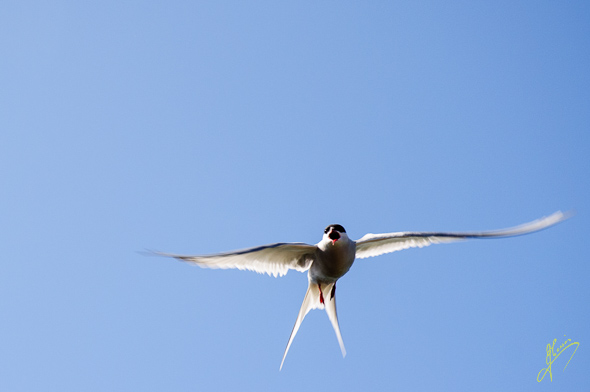 Artic Tern on Isle of May.