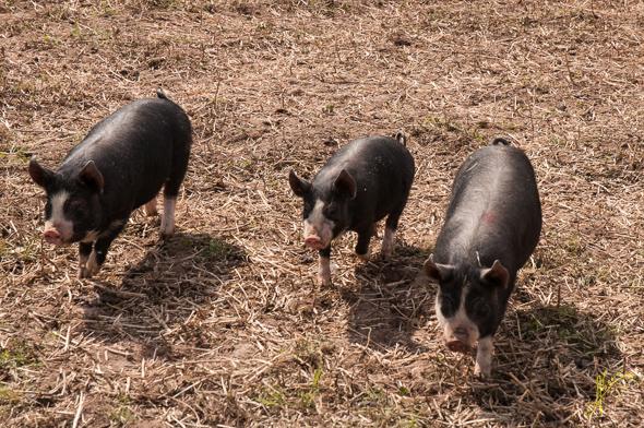 Berkshire Pigs at Bilbury Farm.
