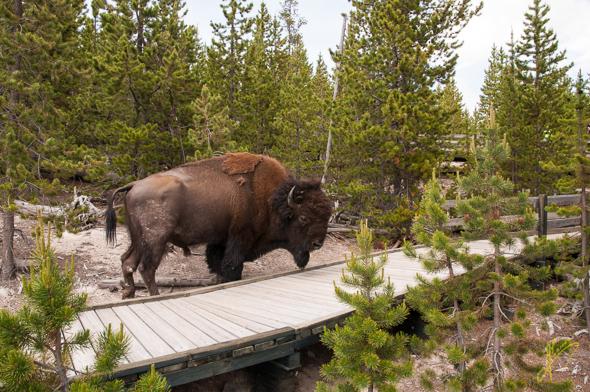 Bison at Norris Geyser Basin.