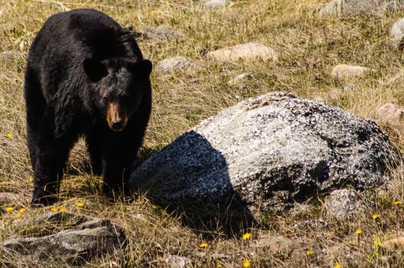 Black Bear-.