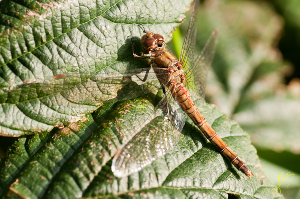 Brown Hawker.