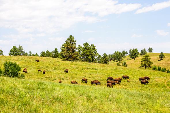 Buffalo Herd, Custer State Park.