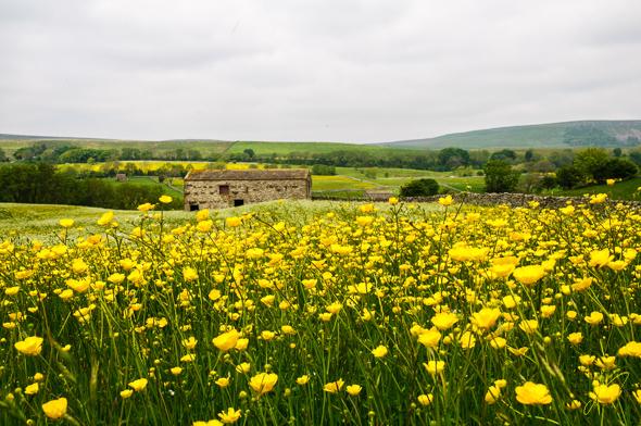 Buttercup Field near Hawes.