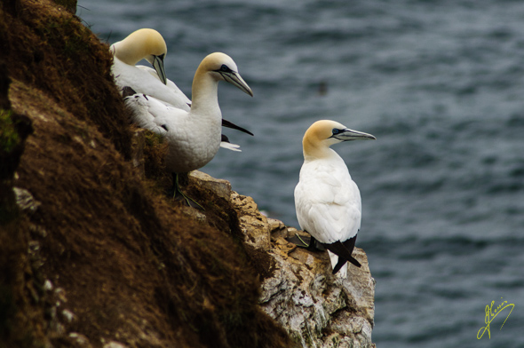 Gannets at Troup Head.