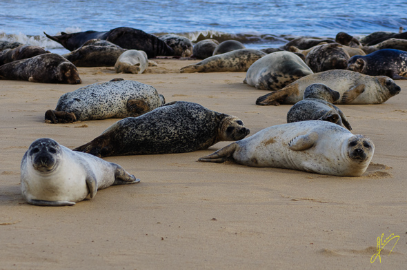 Common Seals.