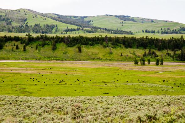 "Lamar Valley, ""The American Serengeti""."