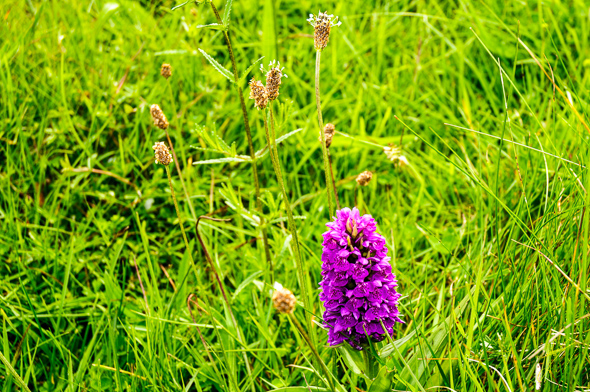 Meadow Orchid at Forvie Scotland National Nature Reserve.