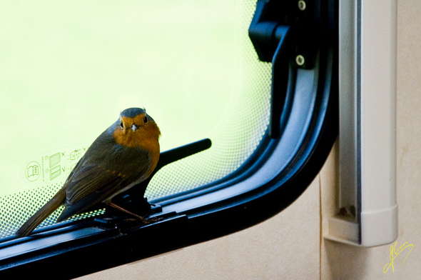 The nosey Robin