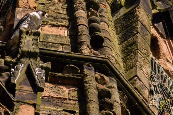 Peregrine Falcon on Lichfield Cathedral.