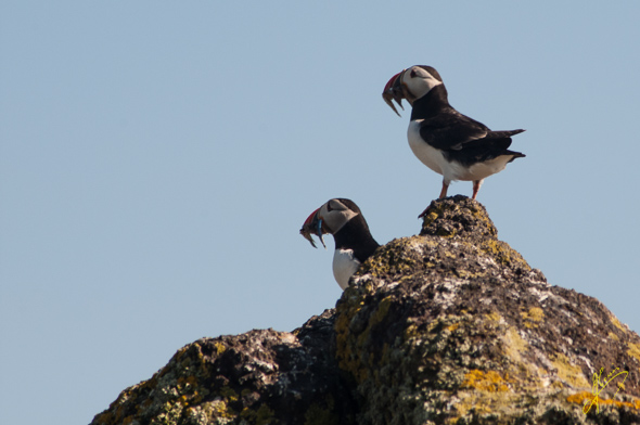 Puffins on Isle of May.