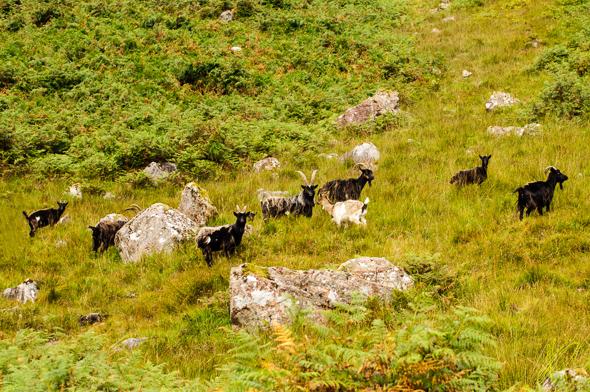 Wild Goats.